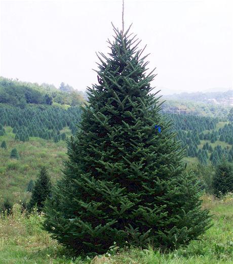 North Carolina Fraser Fir Wholesaler - Wholesale Christmas Trees At Shore's Nursery In Western North Carolina